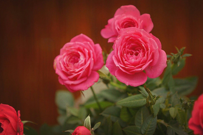 Pin by Priyanshi on Rose Rose, Flowers, Red roses