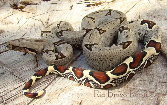 Peruvian Red Tail Boa   Herpetology (Reptiles & Amphibians