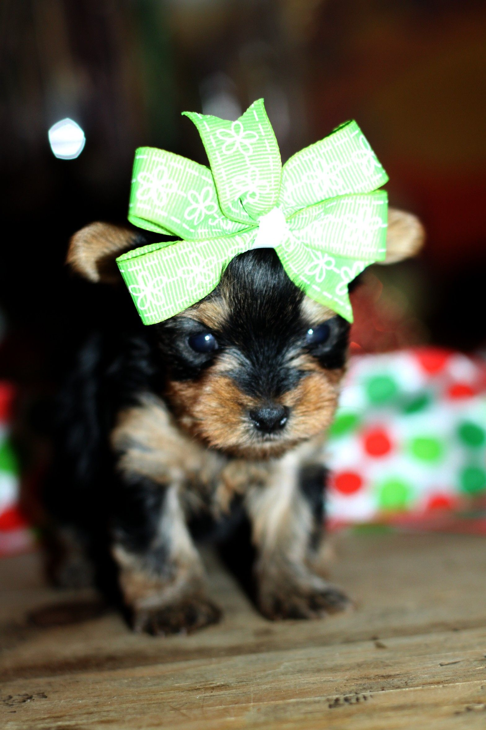 Wild West Yorkies, Yorkie Puppies for sale
