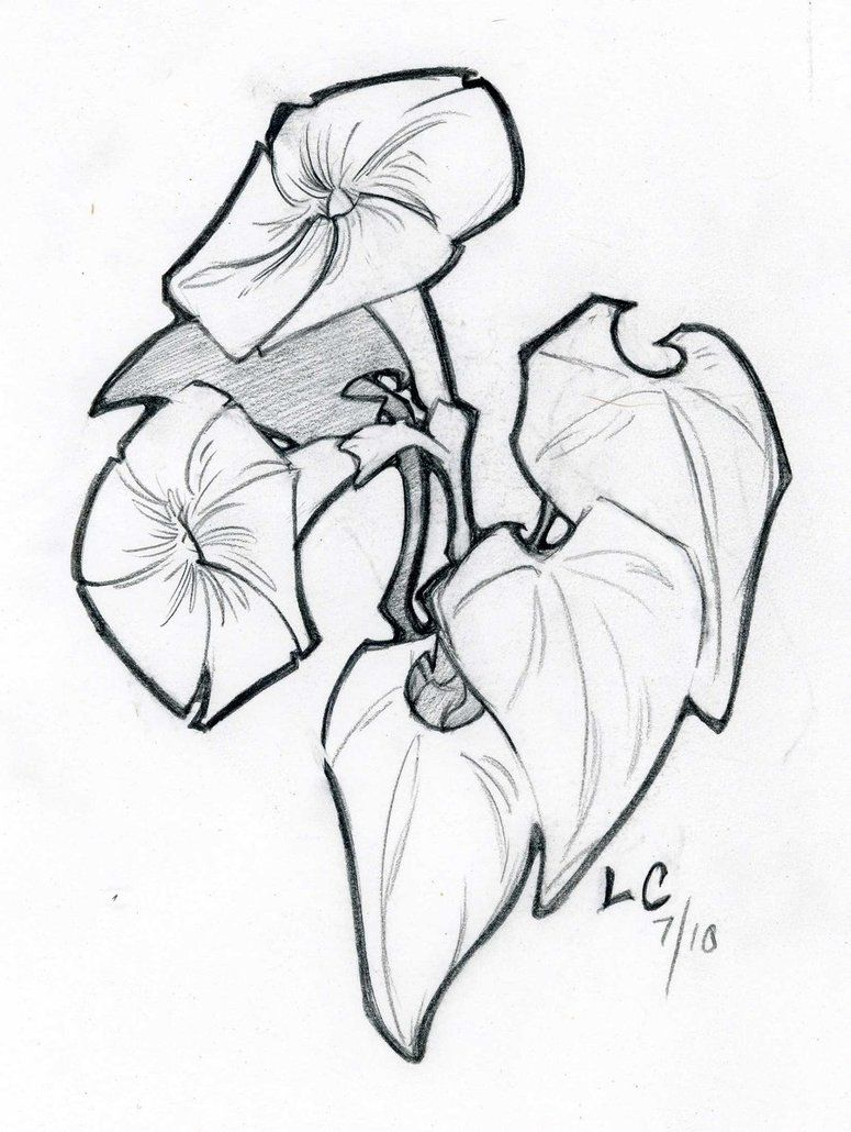 Morning glory Coloring Pages & Pictures IMAGIXS Line