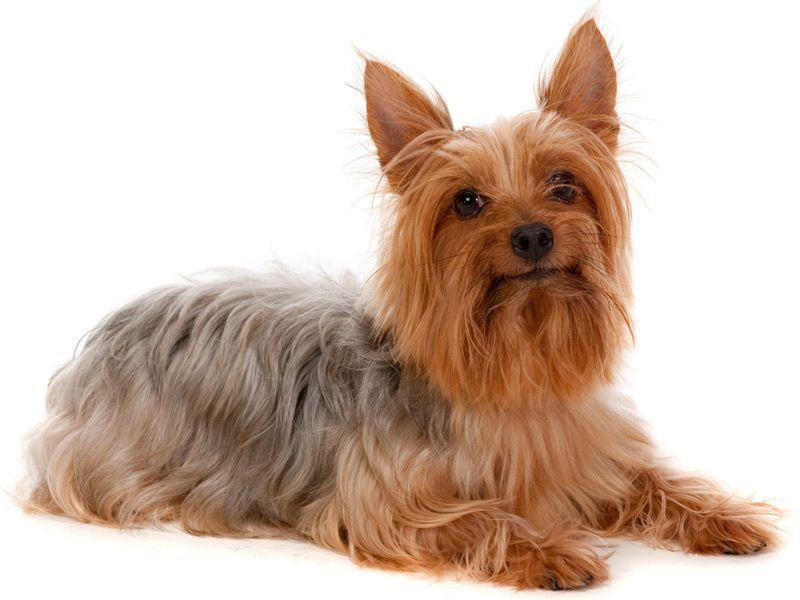 Silky Terrier Australian Silky Terrier Silky Terrier Terrier Puppies