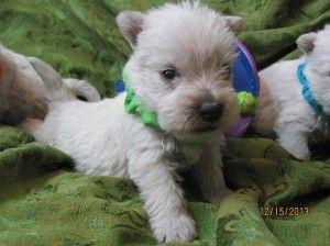 Westie Puppies San Jose Baby Animals Westie Puppies Cute Baby Animals