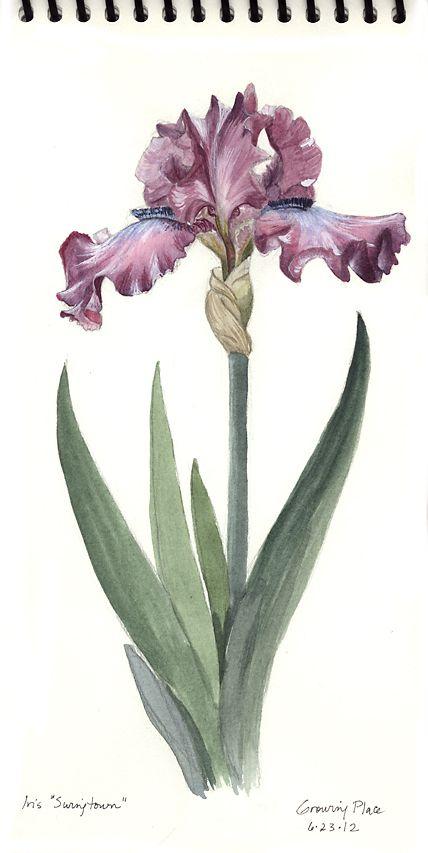 Purple Iris Iris Sketchbook Journal How To Draw Flowers Iris Flower Sketching Botanical Drawing Sket Botanical Drawings Flower Drawing Botanical Sketchbook