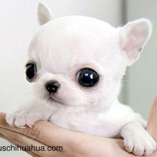 Baby chihuahua Too Cute Pinterest