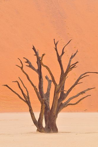 #CamelThorn trees in #NamibNaukluft Park #Namibia   Discover Namibia…