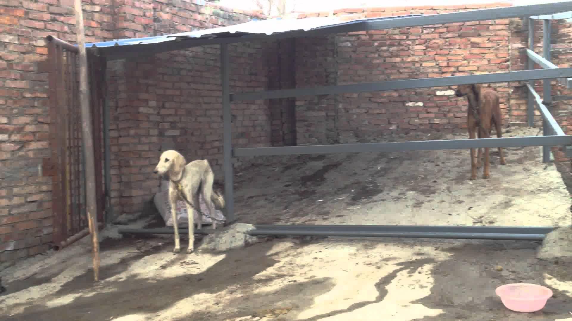 Chinese hound Xigou. Most beautiful horses, Rare breed
