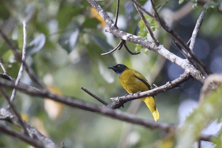 Ciri Khas Burung Cucak Kurincang Dan Daerah Persebarannya Burung Jalak Bali