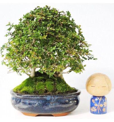 Pin On Zelkova Bonsai