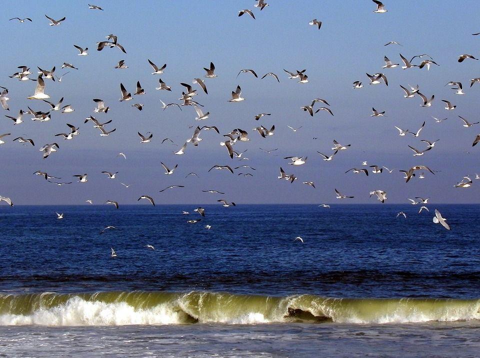 Free image on pixabay birds seagulls flying ocean