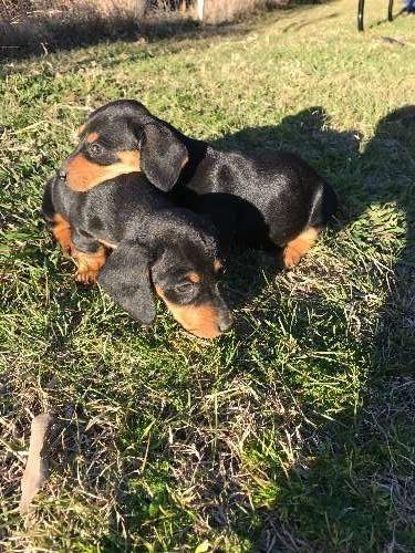 Miniature Dachshund Puppies Dachshund Puppies For Sale Emmaville