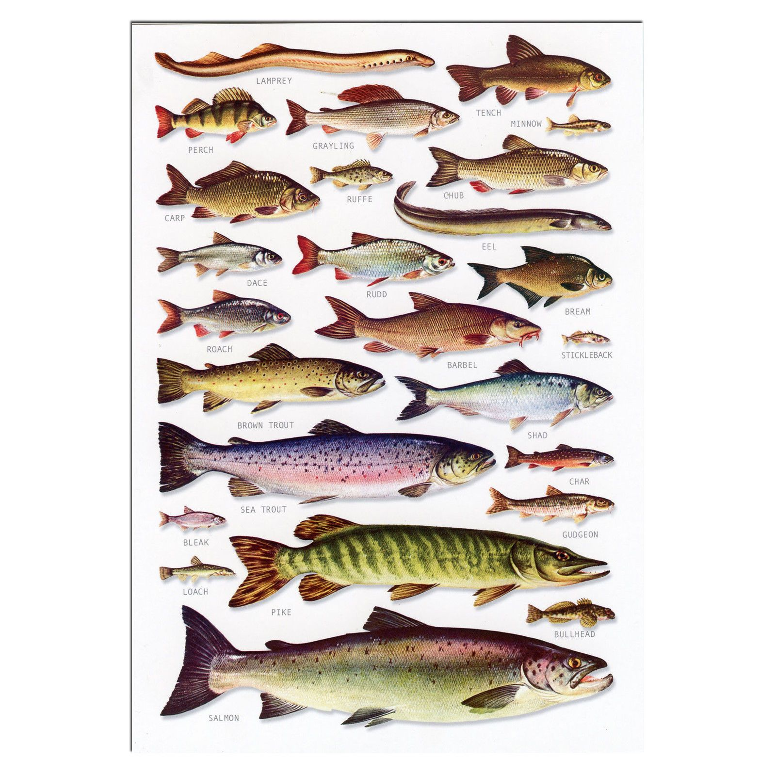 Freshwater Fish A5 Identification Card Chart Postcard