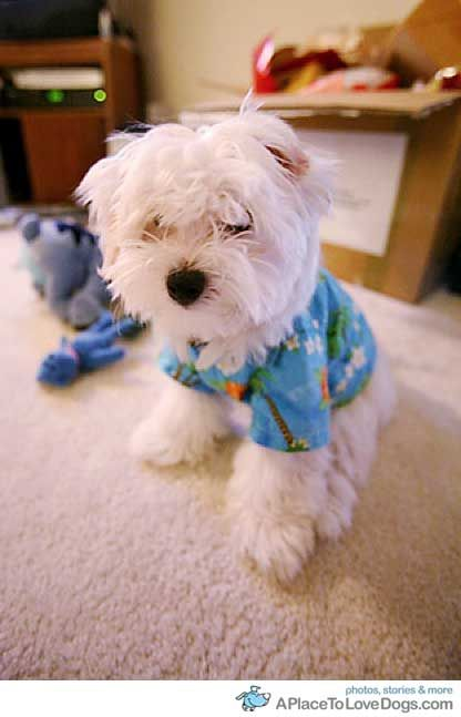 Stitch Maltese Puppy In His Aloha Hawaii Shirt A Place To Love