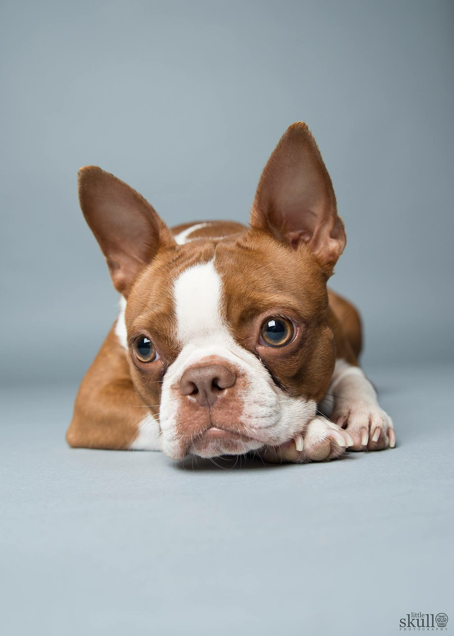 Sweet Ginger Puppies Pinterest Terrier Boston Terrier And