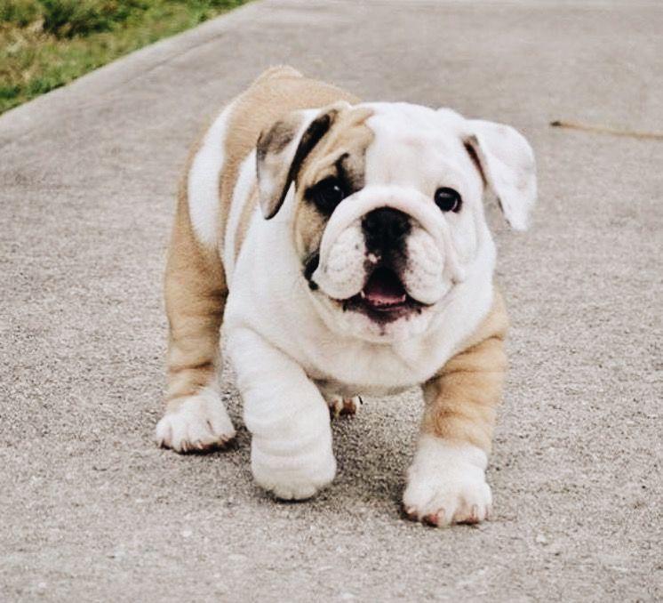 Pin By A S H T O N On B U L L D O G Bulldog Puppies English