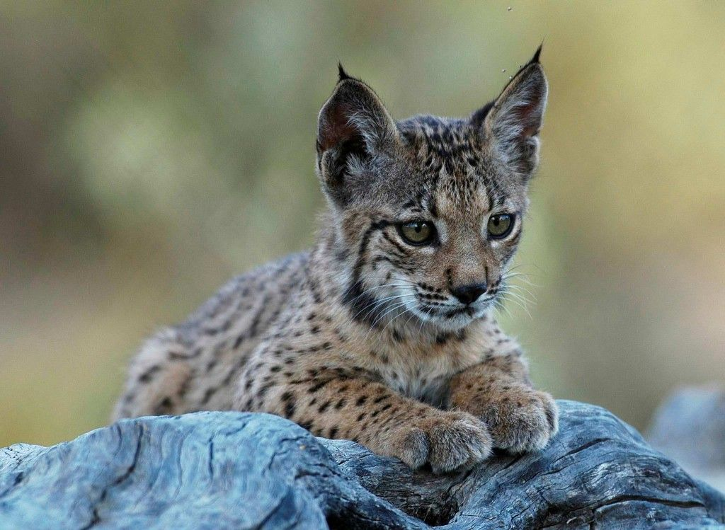 The Iberian lynx, the world's most endangered cat, is making a rebound.