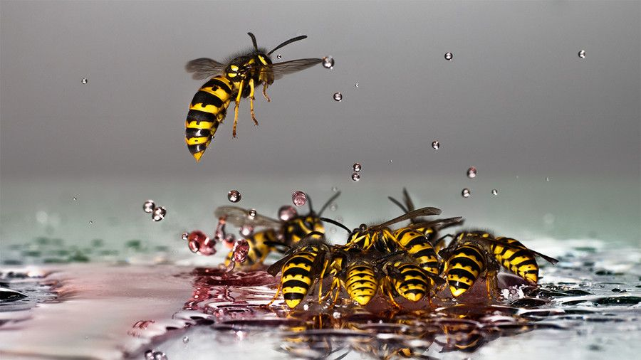 Amazing cluster of wasps in a pool of water. by Wolfgang
