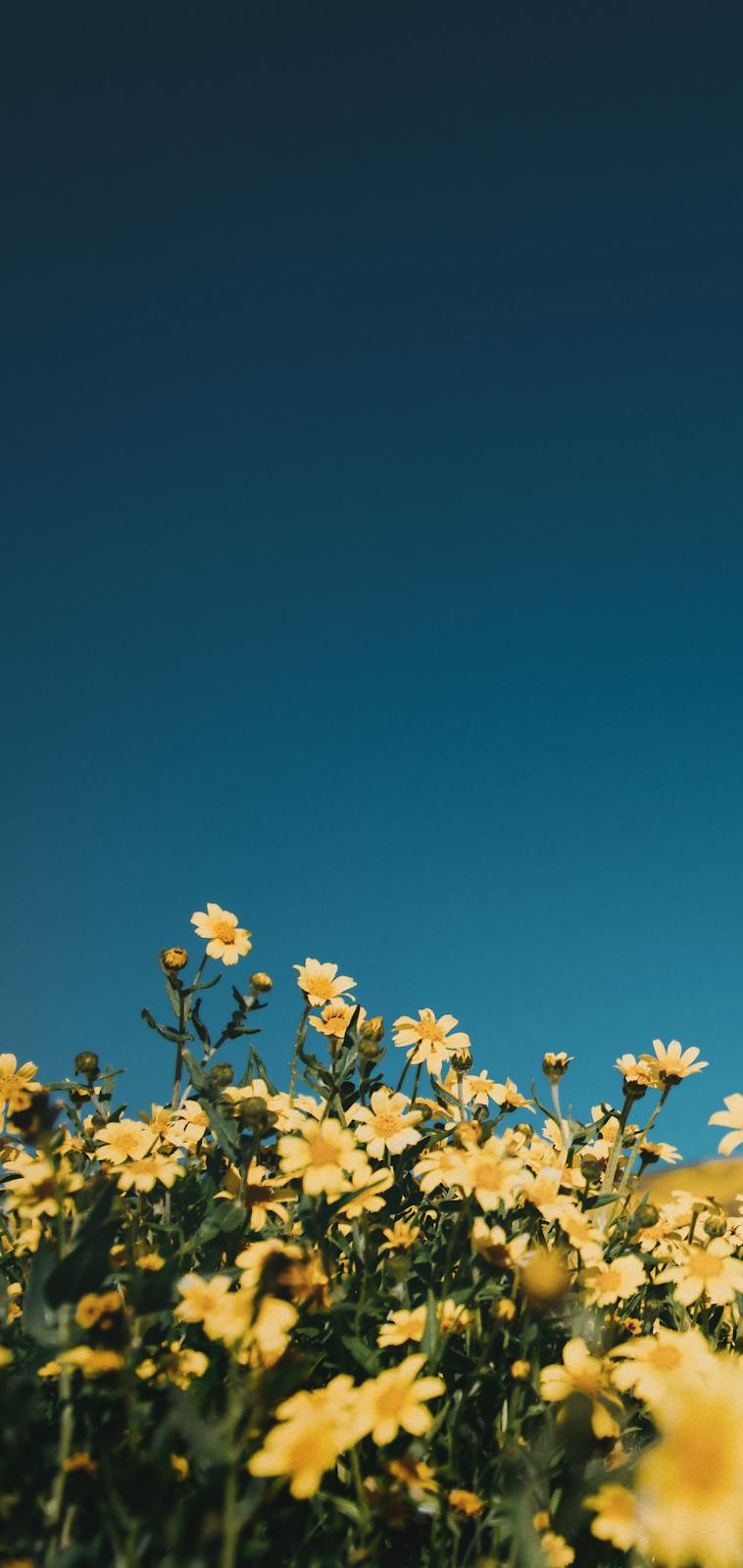 Yellow Flowers In The Blue Sky In 2020 Blue Sky Wallpaper Yellow Flowers Blue Flower Wallpaper
