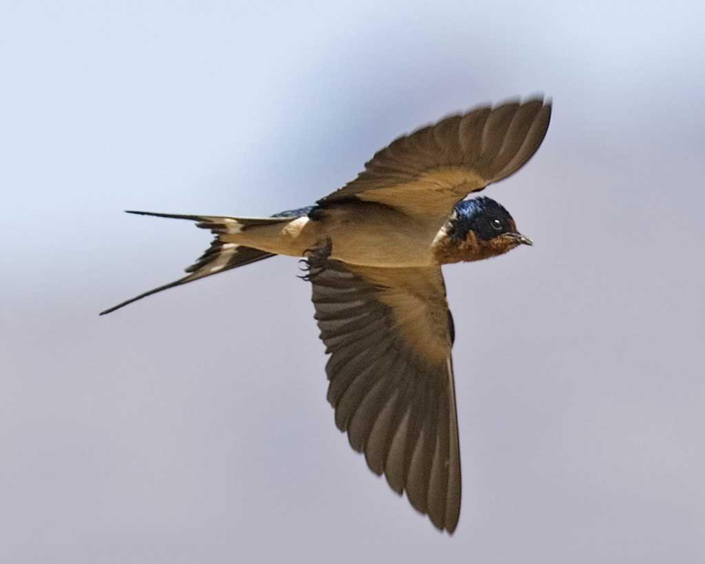 Barn Swallow | Barn swallow, Backyard birds, Swallow