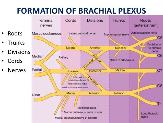 Image result for brachial plexus