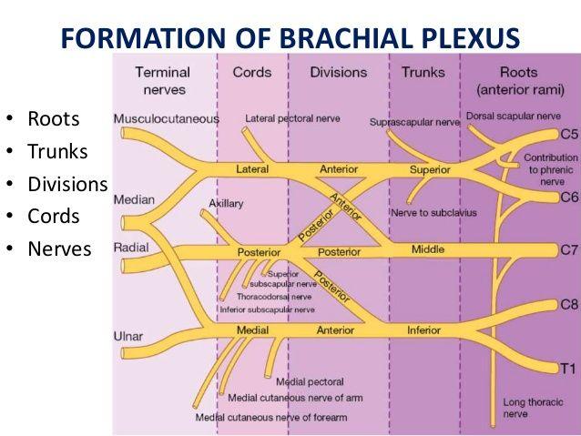 Image result for brachial plexus