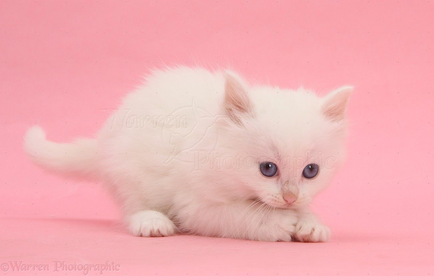 Pin by blues cheese on in the pink pinterest cat how adorable voltagebd Choice Image