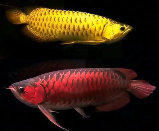 Arowana Fish Live Wallpaper Download Arowana Fish Live Wallpaper Dragon Fish Fish Freshwater Aquarium Fish