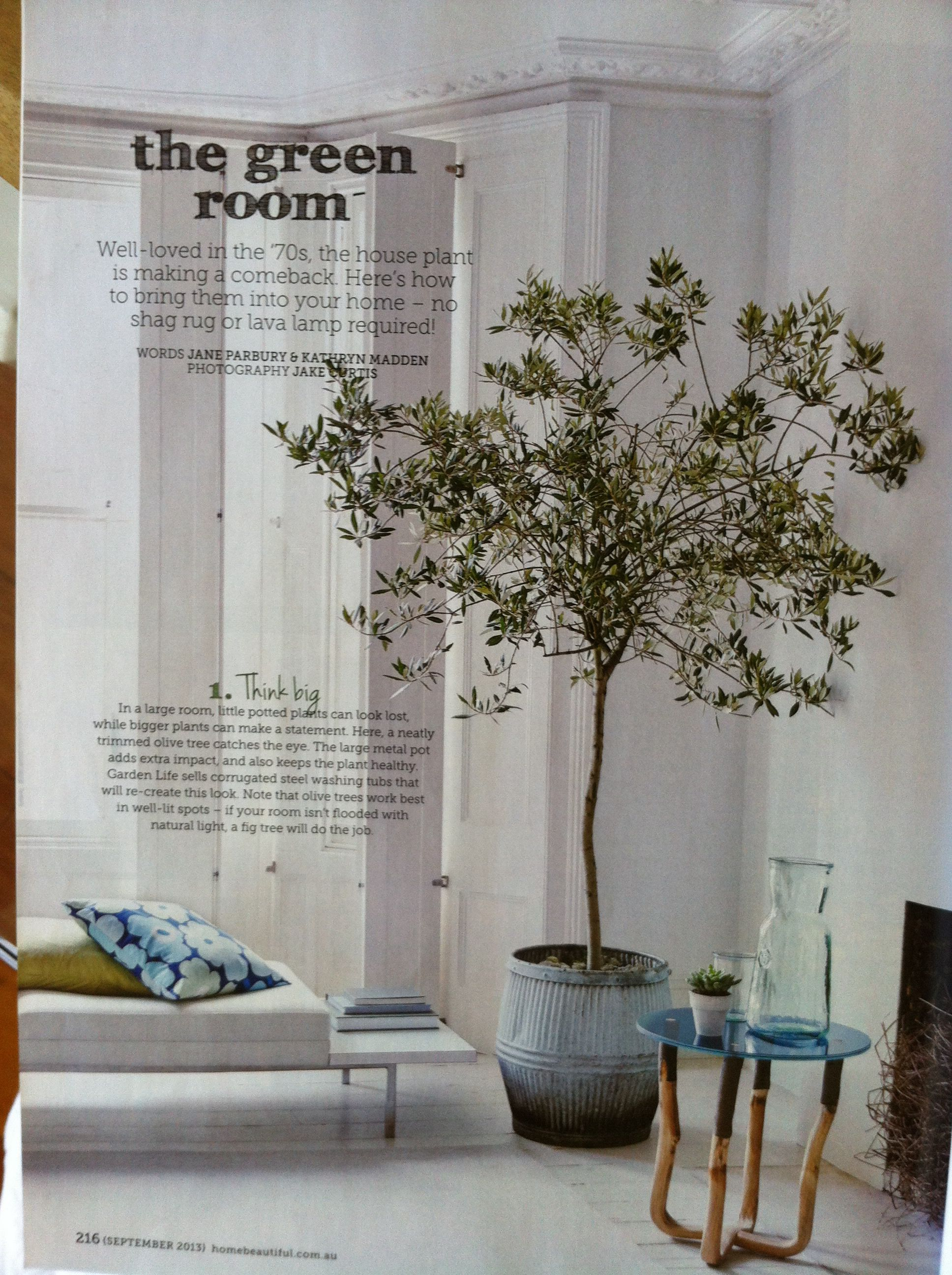 Olive Tree Indoors. HB Sept 2013. Growing Olive Trees In