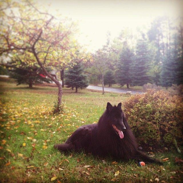 handsomedogs - My Groenendael, Navarre, enjoying his new home in...