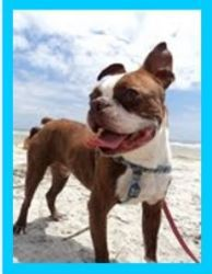 Oliver Is An Adoptable Boston Terrier Dog In North Augusta Sc