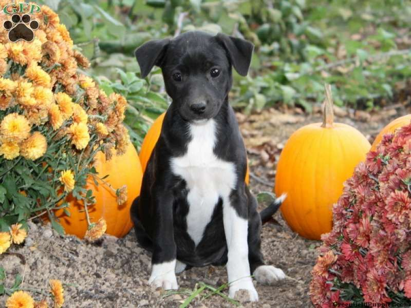 Allie, Border Collie Mix puppy for sale in Oxford, PA
