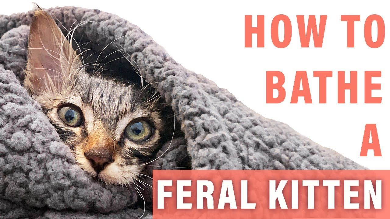 How To Bathe A Feral Kitten Stray Cats In 2020 Feral Kittens Stray Cat Cats
