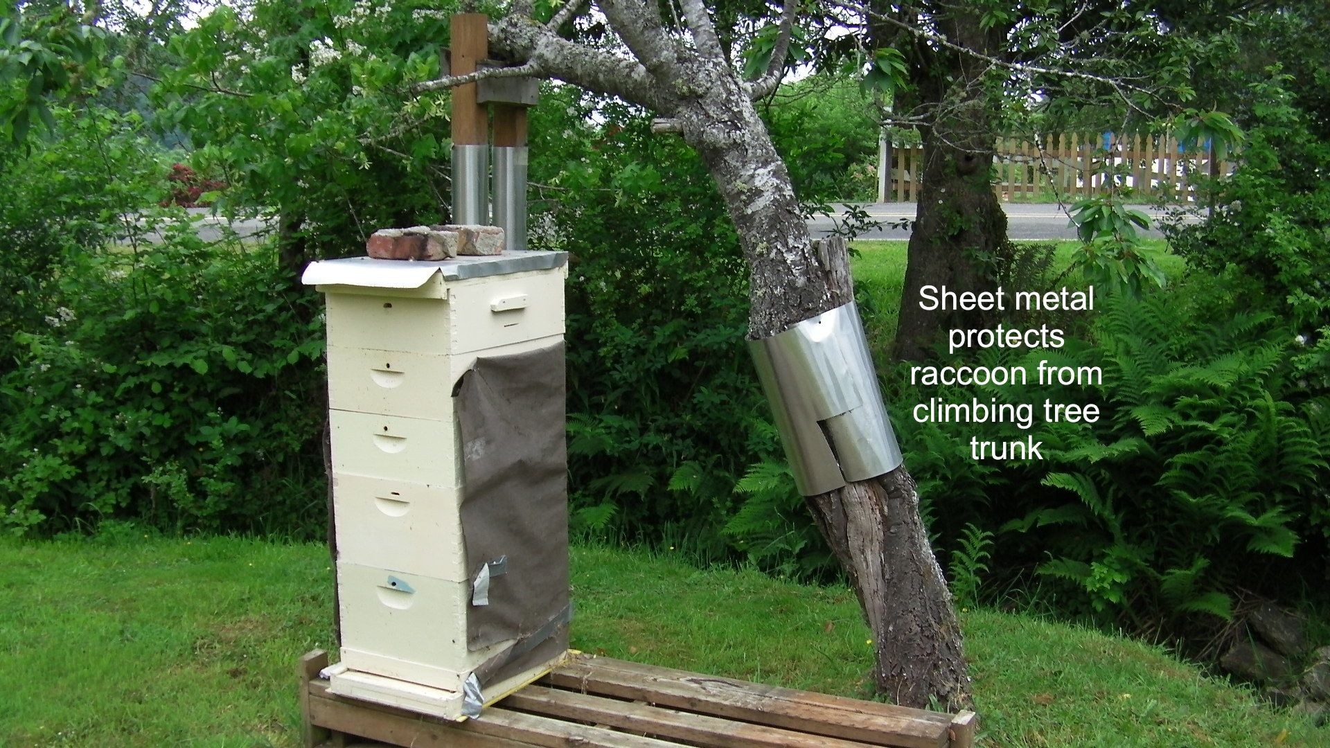 Posts About Protecting Fruit Tree From Raccoons On Adventures In Natural Beekeeping Fruit Trees Tree Plum Tree