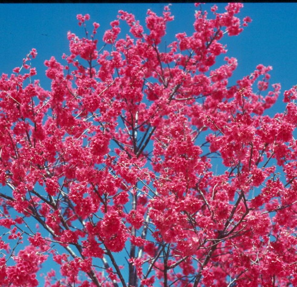 Online Plant Guide Prunus Campanulata Taiwan Flowering Cherry Cherry Plant Spring Fruit Spring Flowers