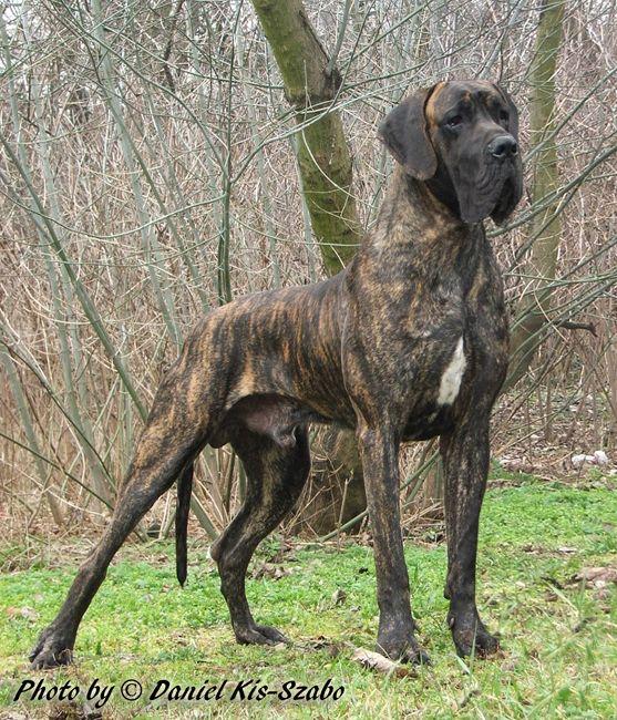 Noble Brindle Great Dane Dogs Dog Breeds Brindle Great Dane