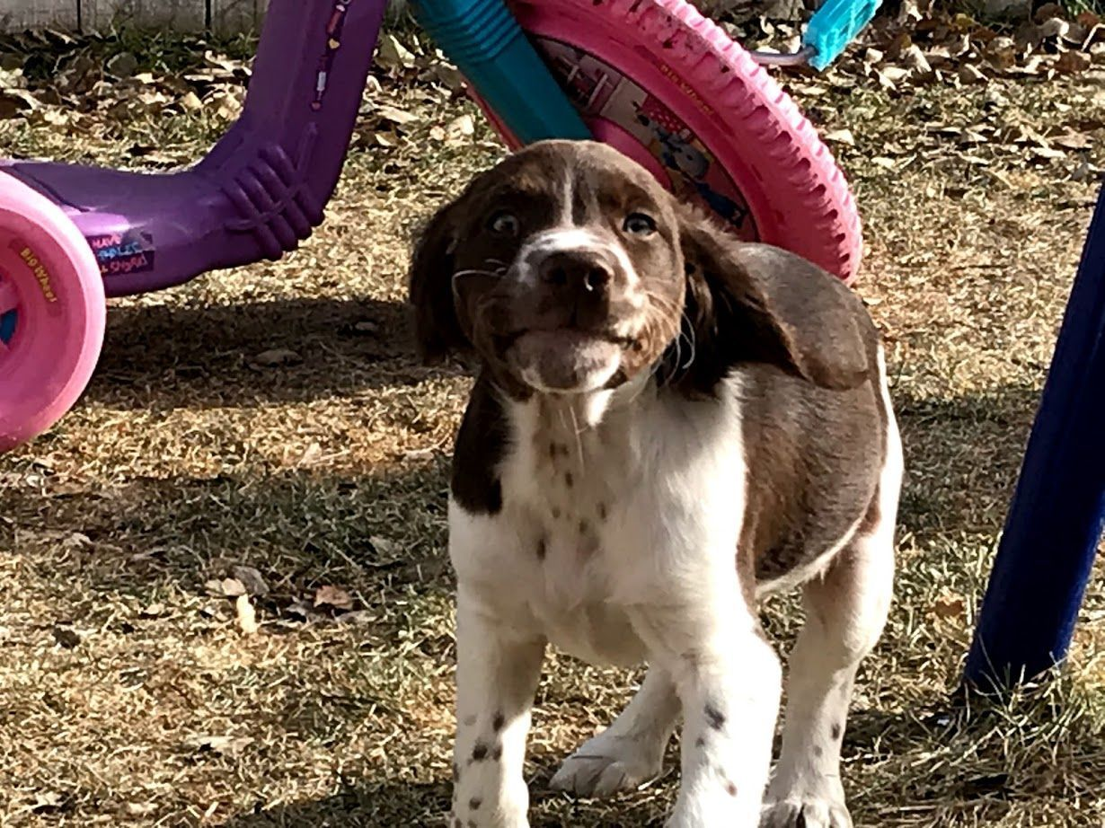 Amber Sharp Heise Has Brittany Puppies For Sale In Eagle Mountain Ut On Akc Puppyfinder Brittany Puppies Brittany Puppies For Sale Puppies For Sale