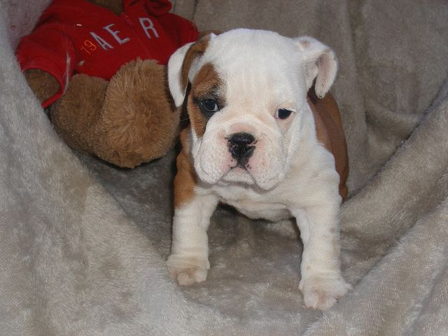 English Bulldog Puppies For Sale Puppy Match 4 You Will Match You