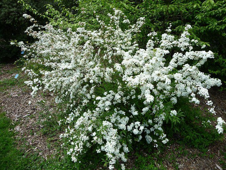spiraea cantoniensis un petit buisson de pompons buisson jardins et fleurs blanches
