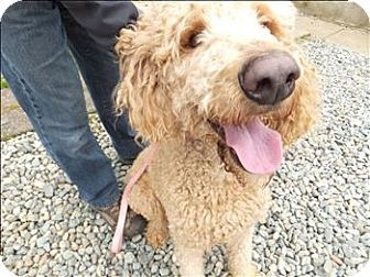 Nanaimo Bc Poodle Standard Mix Meet Harley A Dog For