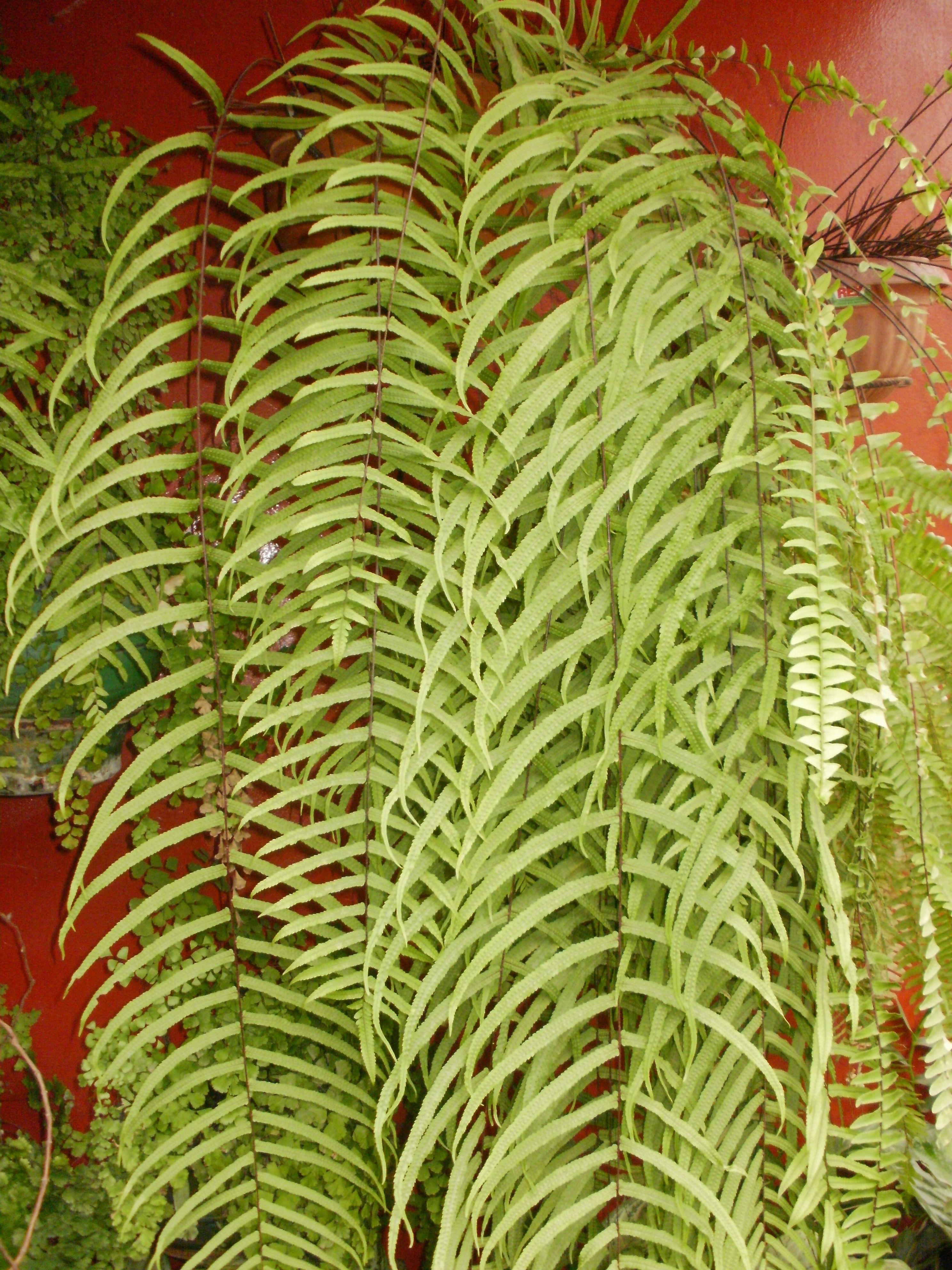 Helecho cortina goniophlebium subauriculatum plantas for Plantas decorativas hidroponicas
