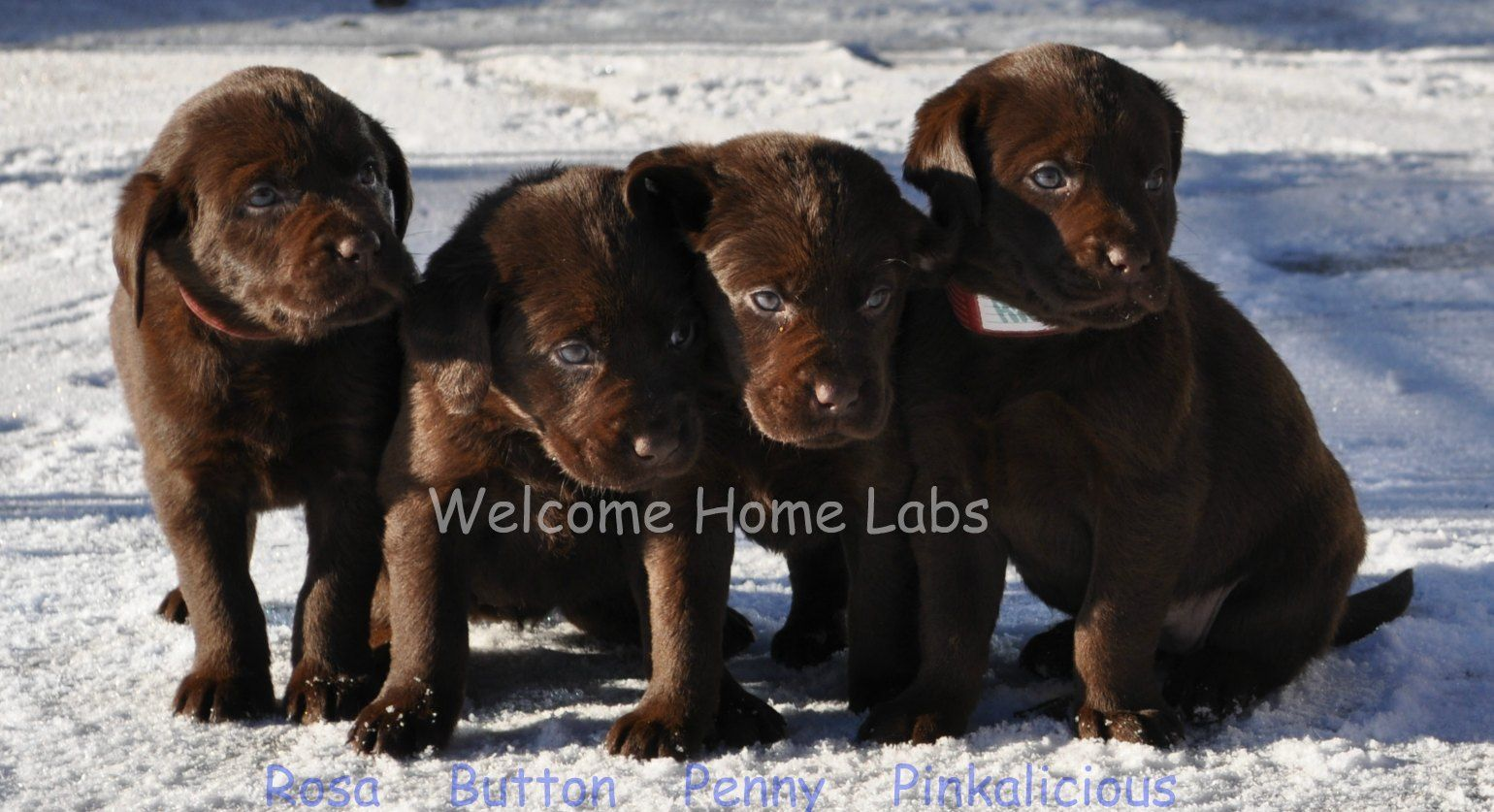 Labrador Puppies For Sale Mn Yellow Lab Puppies Minnesota Welcome Home Labs Located In Minnesota Yellow Lab Puppies Lab Puppies Labrador Puppies For Sale