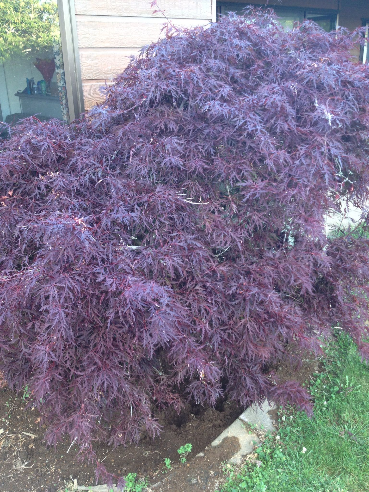 Existing Dwarf Japanese Weeping Maple Acer Palmatum Dissectum