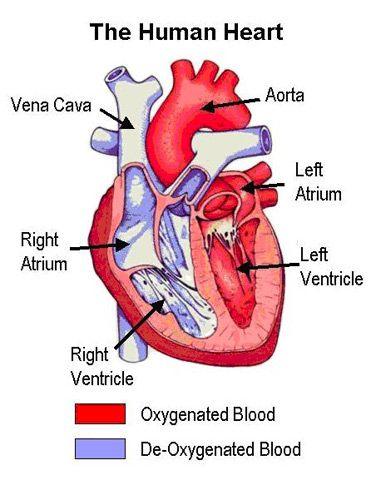 Heart Diagram Google Search Amazinggodcreatedeverything