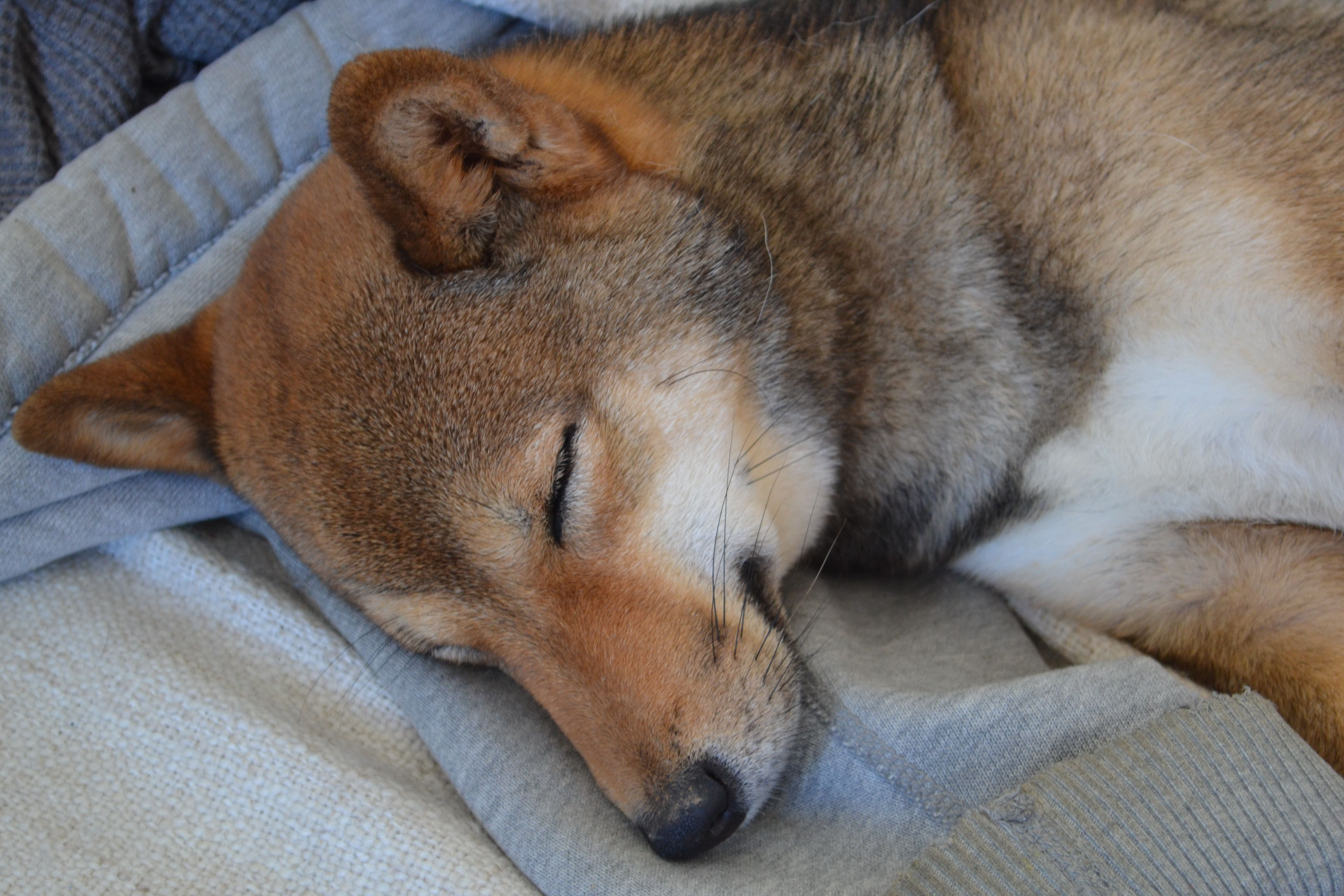 #shiba #sesame #sleeping