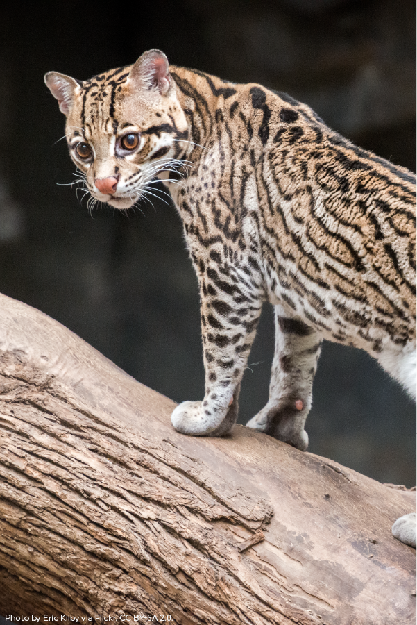 Did you know that Ocelots can be identified by the pattern