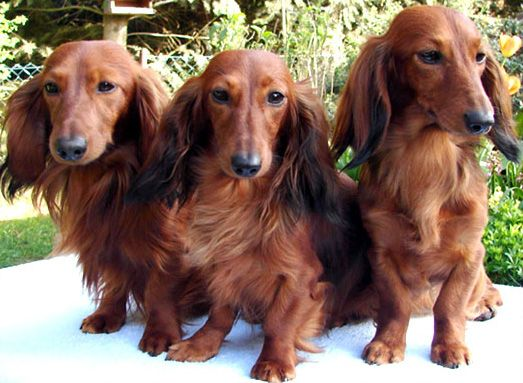 Long Haired Miniature Dachshund Long Haired Dachshunds Long