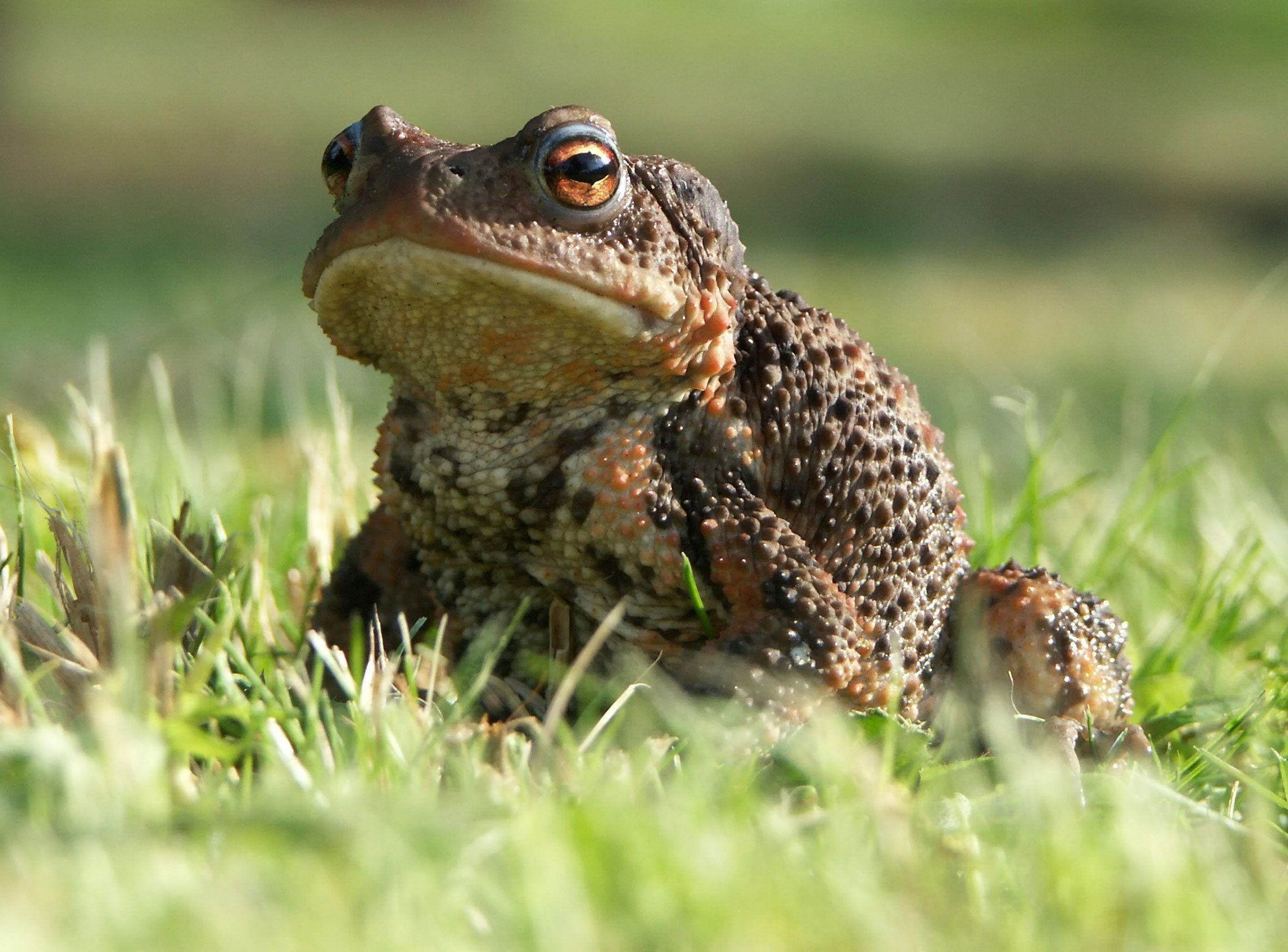 Toad Control: How To Get Rid Of Garden Toads in 2020 ...