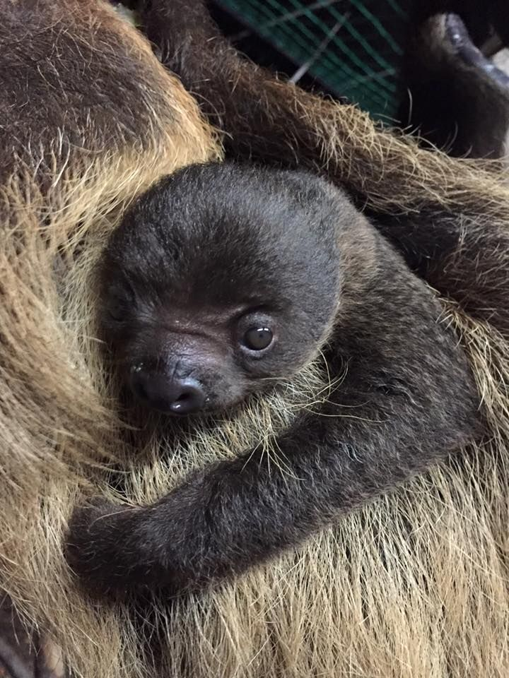 Slow Down for a Look at This New Baby #babysloth
