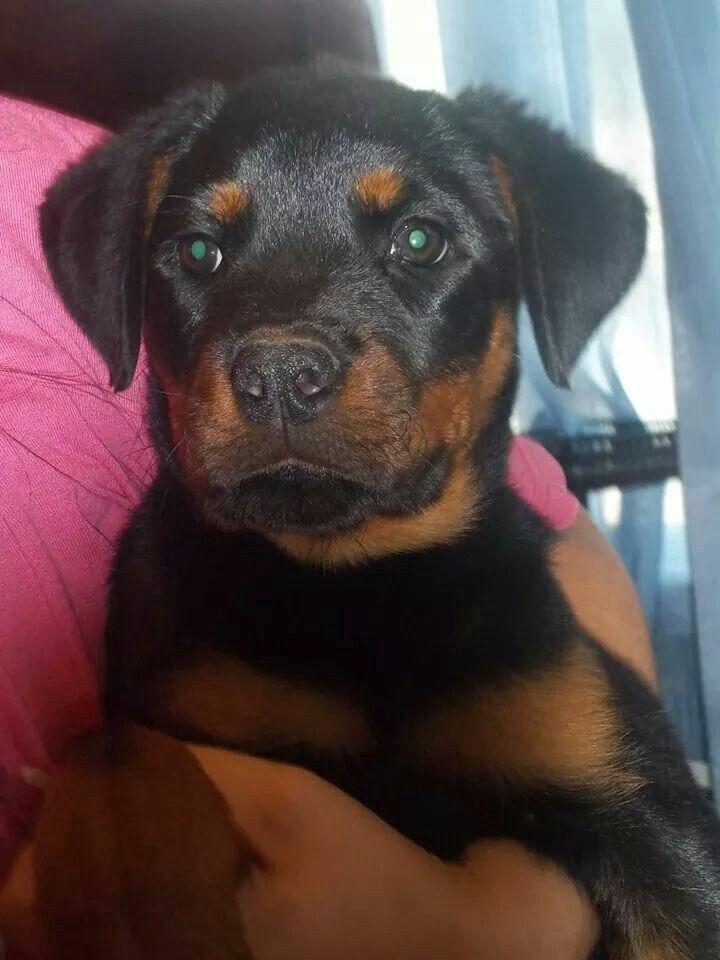 Resultado de imagen para 犬 Rottweiler 美しい目