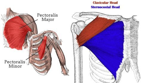 where is the pectoralis major and minor - Google Search   NASM ...