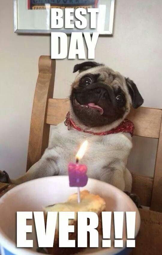 Birthday Pug With Images Pug Memes Pugs Funny Pugs Funny Meme